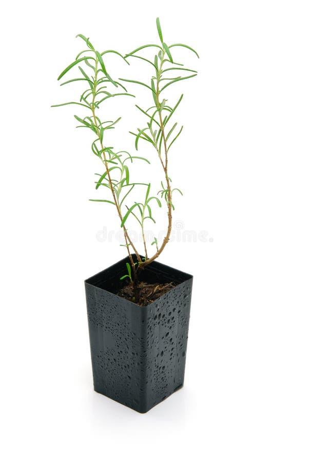 Free Rosemary Seedling Isolated Stock Image - 14172991