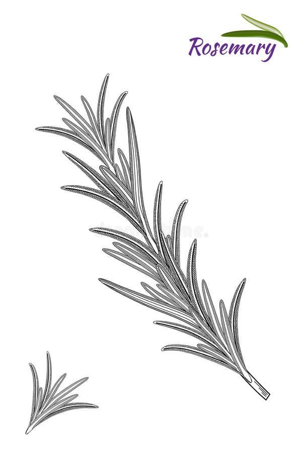 Rosemary branch.  Hand drawn vector illustration - Vector stock illustration