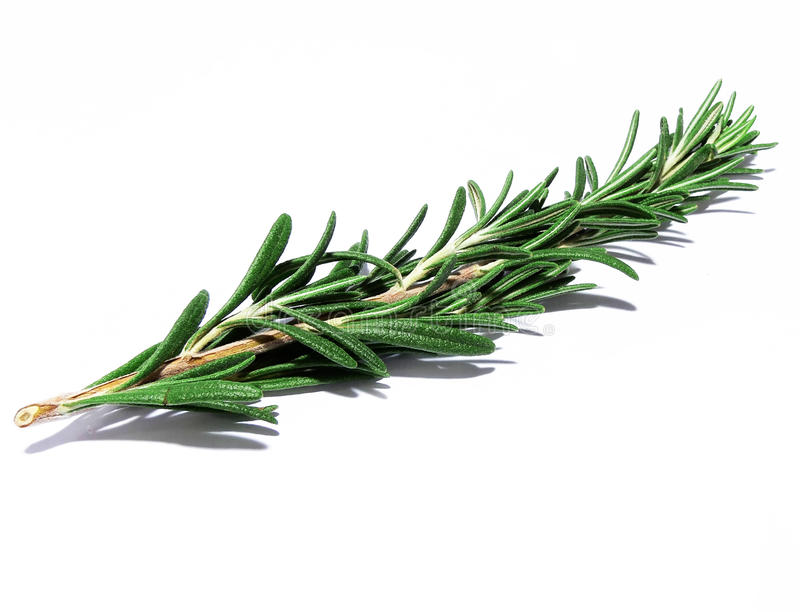 Rosemary sprig. A sprig of the herb rosemary stock photos