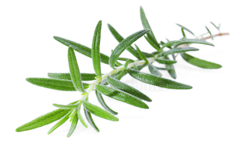 Rosemary Sprig. A sprig of rosemary on a white background stock image