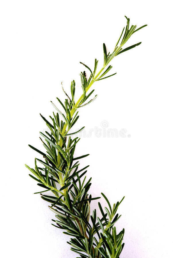 Rosemary sprig. A sprig of rosemary (herb) isolated on white stock photos