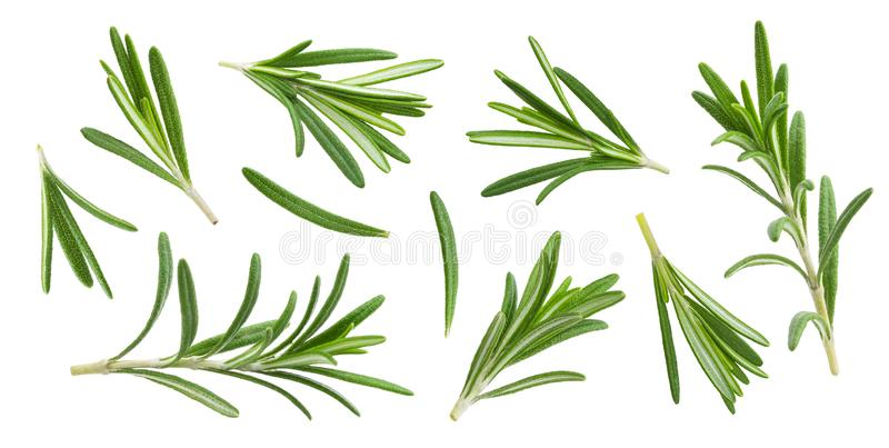 Rosemary twig and leaves isolated on white background with clipping path, collection royalty free stock image