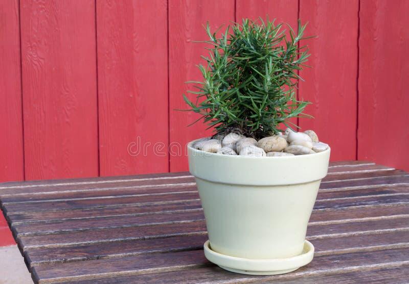 Rosemary in vase. royalty free stock image