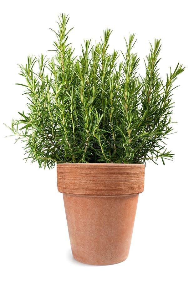 Rosemary in vase royaltyfri foto