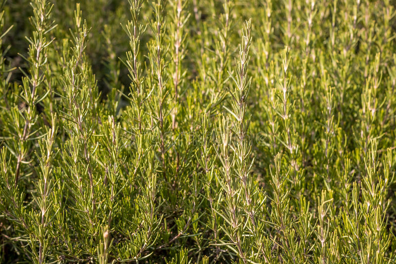 Rosemary in the wild. In Israel, Jerusaelm royalty free stock photos