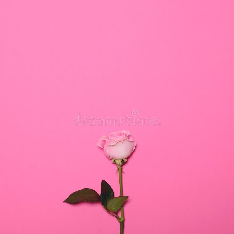 Rosen-Blume auf rosa Pastellhintergrund mit Raum über - modischem minimalem flachem gelegtem Konzept stockfotografie