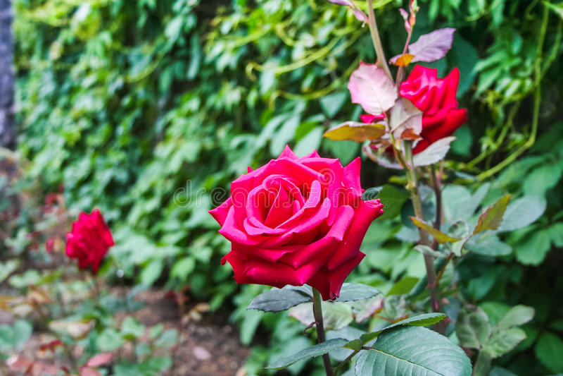 Rosen-Blume im Park des Sanatoriums lizenzfreies stockfoto