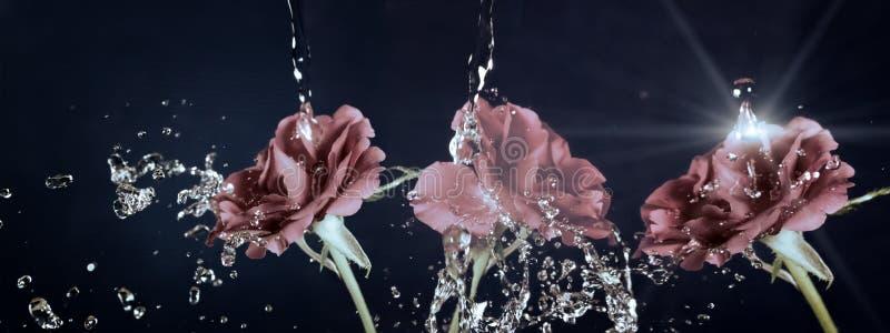 Rosen-Blume im Regen, Wassertropfen glänzend, Weinlese, Retro- Effekt lizenzfreie stockfotografie