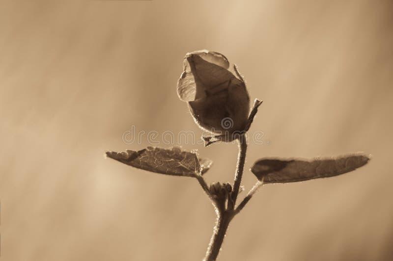Rosen-Blume mit den Blumenblättern und Hintergrundbeleuchtung auf einem unscharfen Hintergrund Getontes Foto, Weichzeichnung, def stockbilder