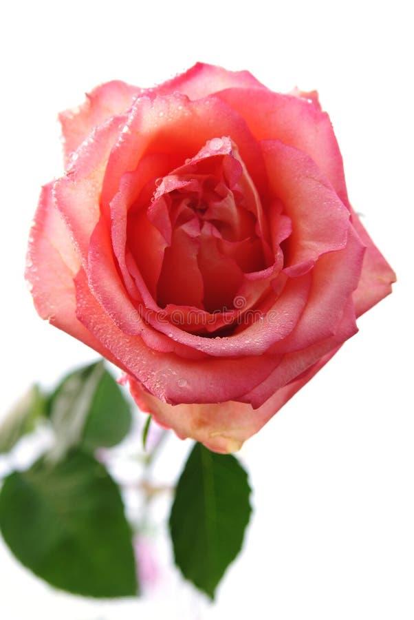 Rosen-Blume mit den Tautropfen getrennt auf Weiß stockbild