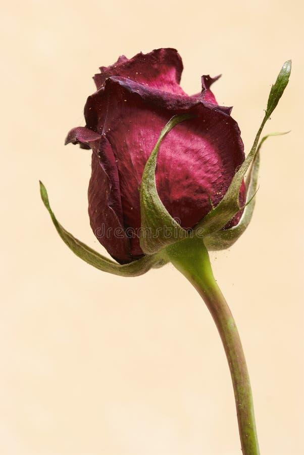 rosen blume mit parasiten stockfoto bild von programmfehler 15286236. Black Bedroom Furniture Sets. Home Design Ideas