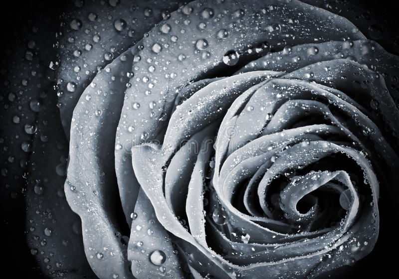 Rosen-Blume mit Wassertröpfchen stockfotos