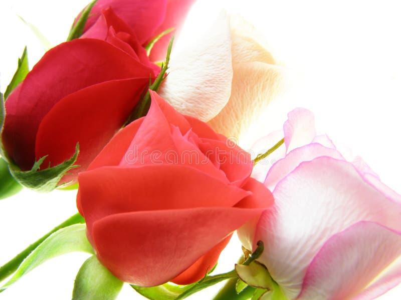 Rosen-Blumen stockbild