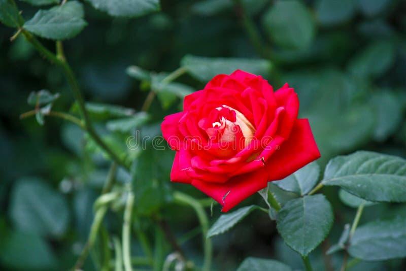 Rosen-Blumenabschlu? oben Frühlingsblume des Rosas, rote Rose Rosa stieg Frühlingsblumennahaufnahme Nat?rlicher Blumenhintergrund lizenzfreies stockfoto