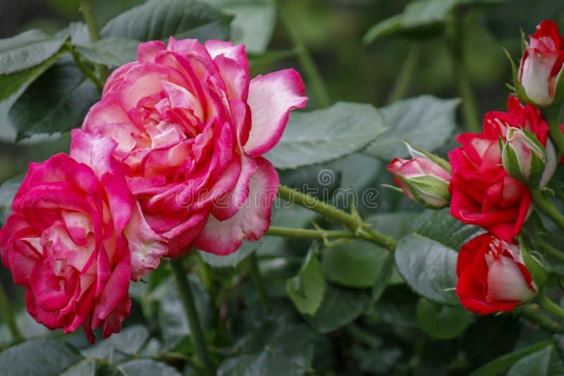 Rosen-Blumenabschlu? oben Frühlingsblume des Rosas, rote Rose Rosa stieg Frühlingsblumennahaufnahme Nat?rlicher Blumenhintergrund lizenzfreies stockbild