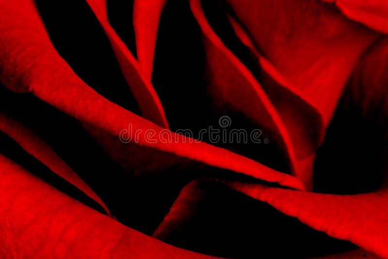 Rosen-Blumenblätter lizenzfreies stockfoto
