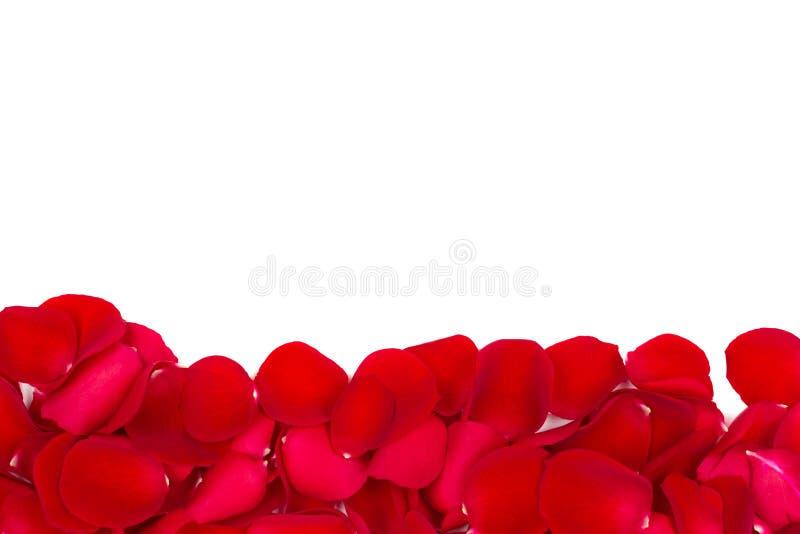 Rosen-Blumenblätter lokalisiert auf Weiß lizenzfreie stockfotos