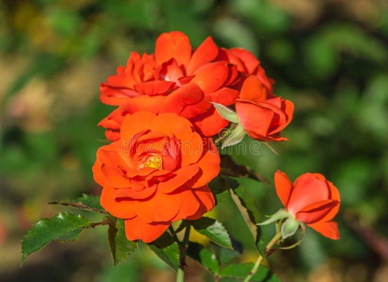 Rosen-Blumengrad spath s jubilaum, Orangelachs blüht lizenzfreie stockbilder