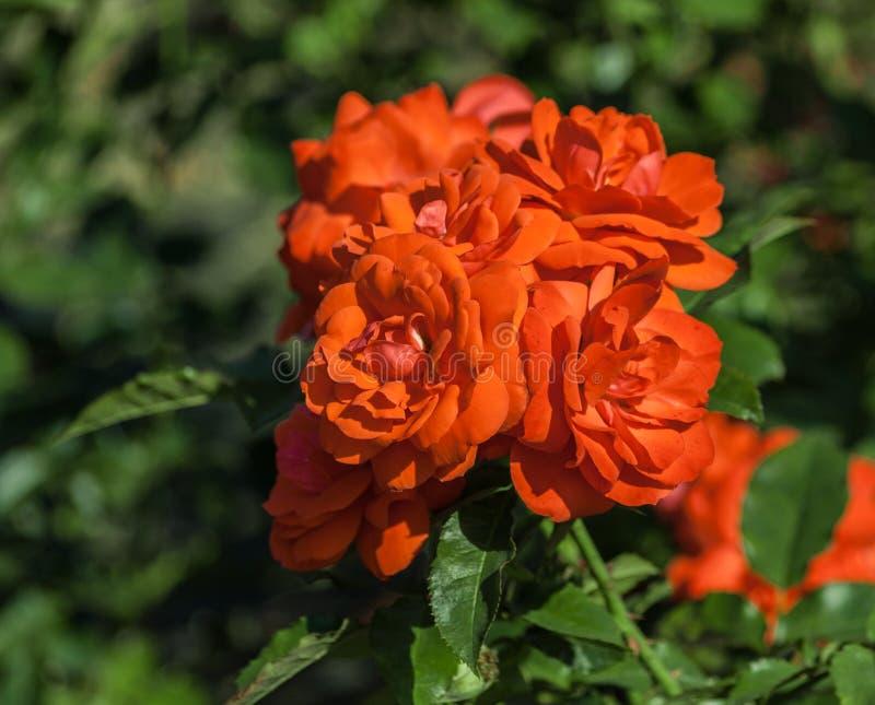 Rosen-Blumengrad spath s jubilaum, Orangelachs blüht in den Blütenständen stockbilder