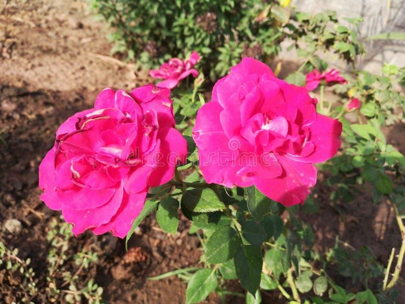 Rosen-Blumenrot stockfotografie