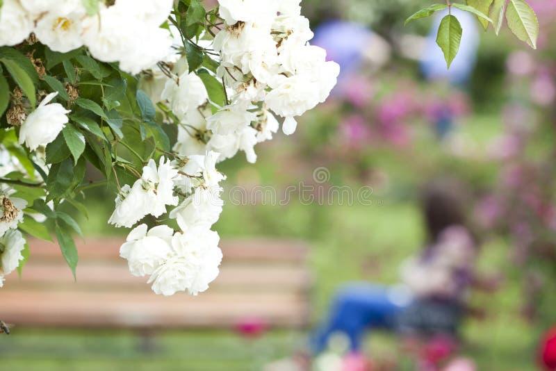 Rosen an der Blüte in einem lokalen Rosengarten lizenzfreie stockfotografie