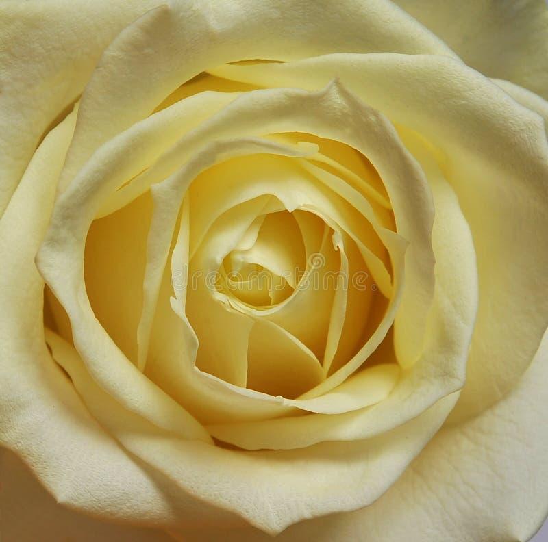Rosen-einzelne weiße Sahneblüte lizenzfreies stockfoto