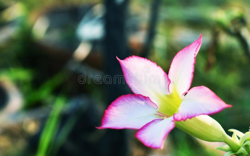Rosen för impalaliljan eller ökeneller åtlöjeazalean, härliga rosa färger blommar i trädgård royaltyfri fotografi
