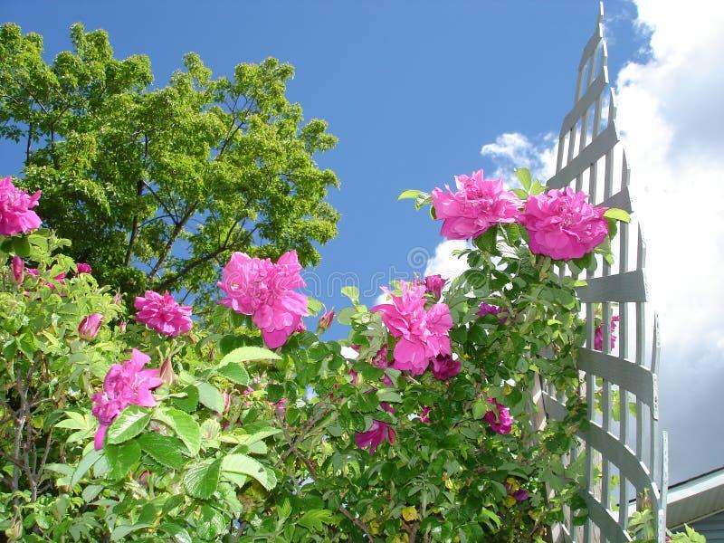 Rosen-Gitter im Garten lizenzfreies stockbild