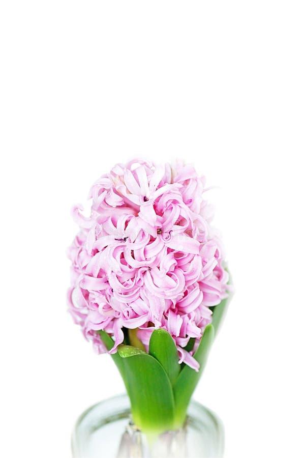 Rosen-Hyazinthenblume lokalisiert auf weißem Hintergrund stockfotos