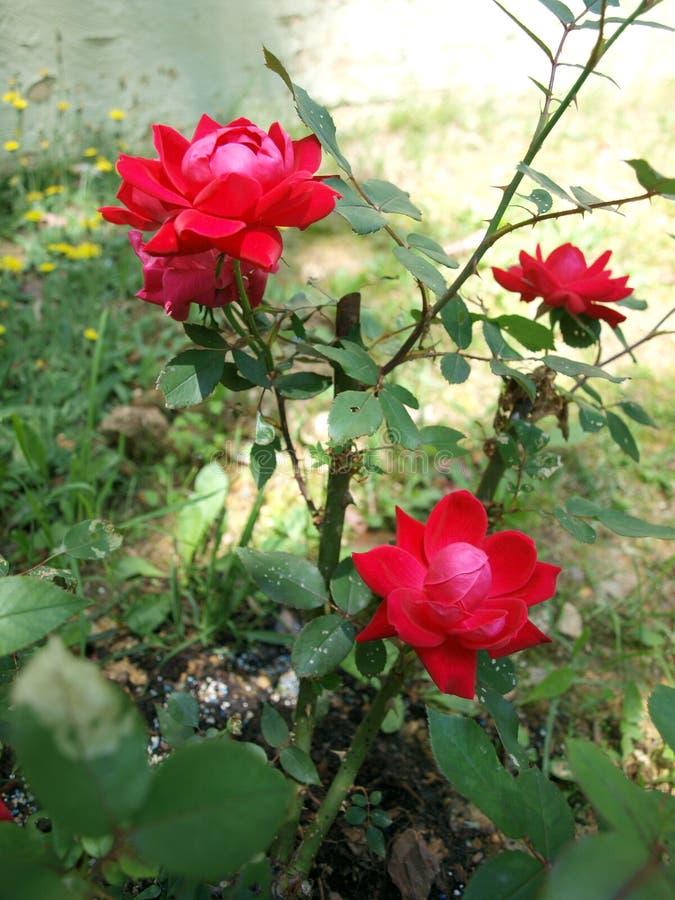 Rosen im Garten lizenzfreie stockfotos
