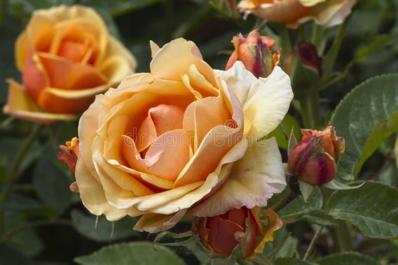 Rosen im Garten lizenzfreies stockfoto
