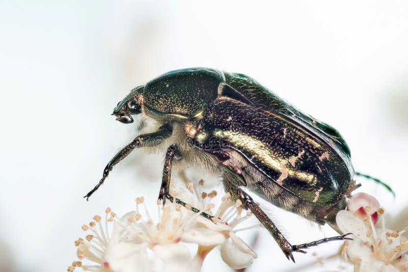 Rosen-Käfer, Cetonia aurata lizenzfreies stockfoto