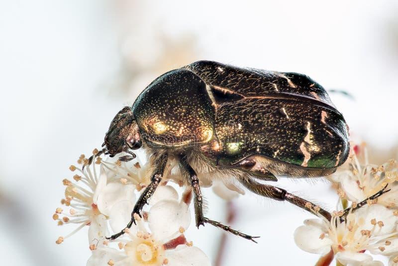Rosen-Käfer, Cetonia aurata stockfoto