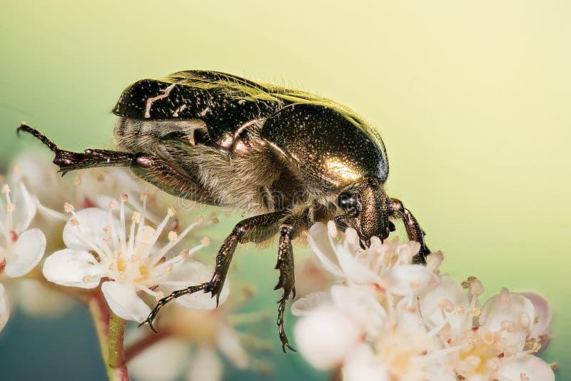 Rosen-Käfer, Cetonia aurata stockfotografie