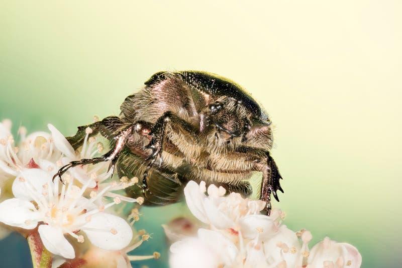 Rosen-Käfer, Cetonia aurata lizenzfreie stockfotos