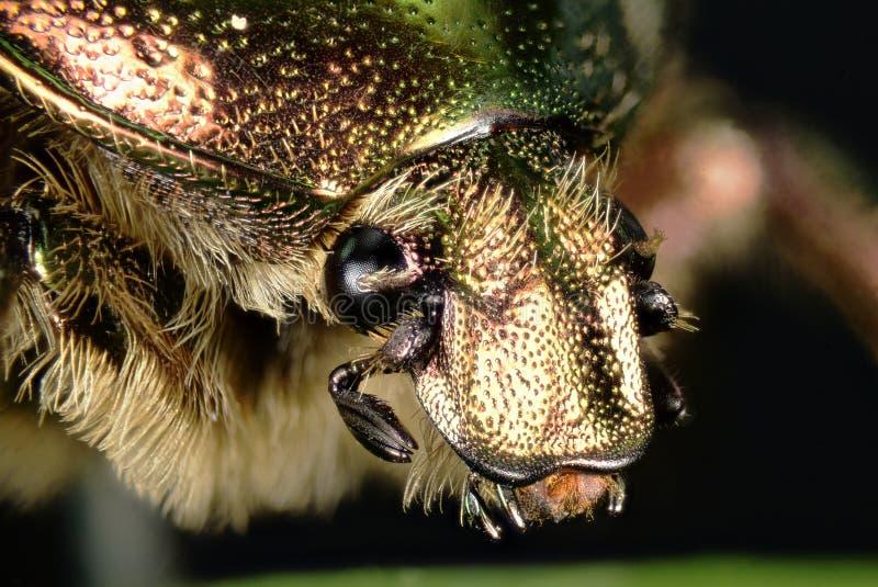 Rosen-Käfer, Cetonia aurata lizenzfreies stockbild