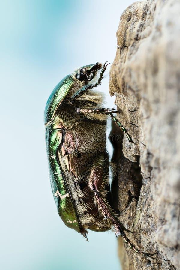 Rosen-Käfer, Cetonia aurata lizenzfreie stockbilder
