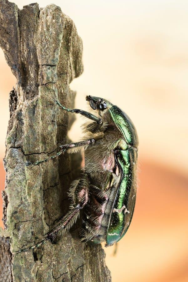 Rosen-Käfer, Cetonia aurata stockbilder