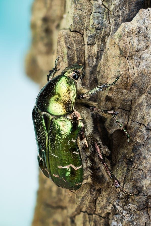 Rosen-Käfer, Cetonia aurata stockfotos