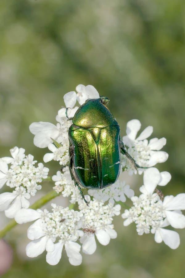 Rosen-Käfer/Cetonia aurata stockfotos