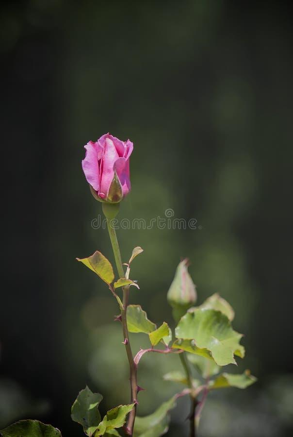 Rosen-Knospe in einem botanischen Garten lizenzfreie stockfotografie