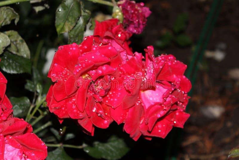 Rosen nach Regen lizenzfreie stockbilder
