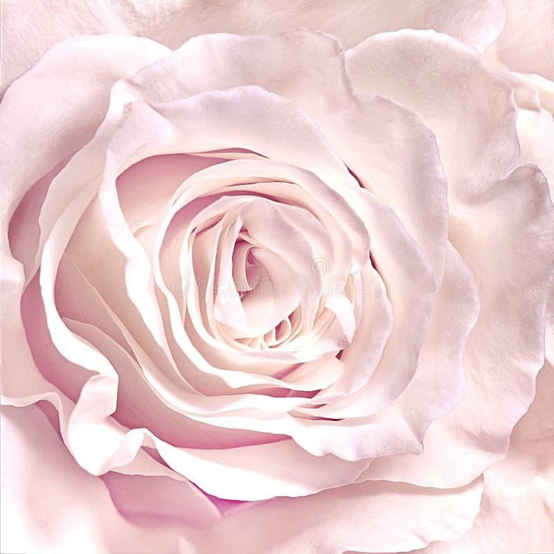 Rosen-Nahaufnahme kann als Heiratshintergrund verwenden Weicher Unsch?rfefokus stockbilder
