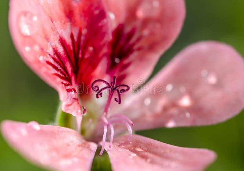 Rosen-Pelargonie lizenzfreies stockfoto