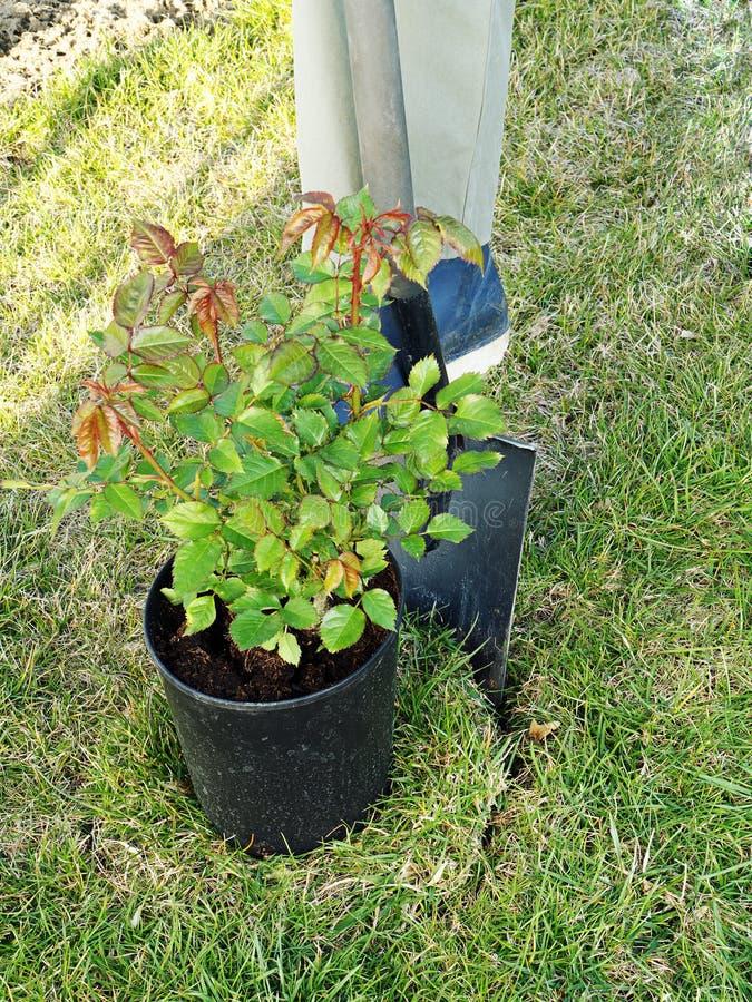 Rosen-Pflanzen stockbilder
