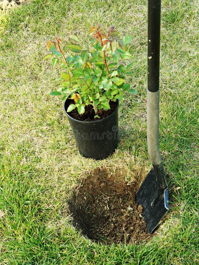 Rosen-Pflanzen stockbild