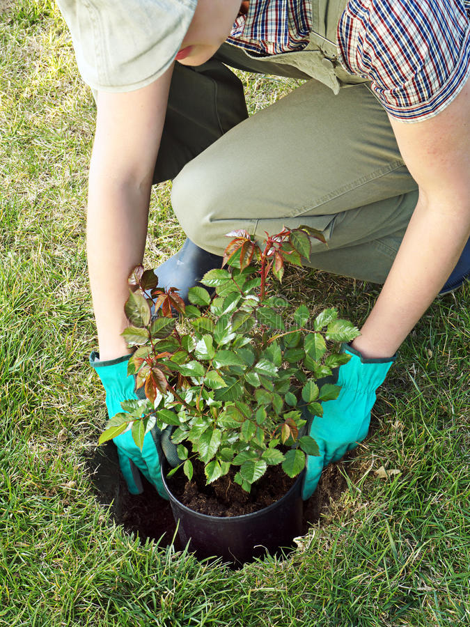Rosen-Pflanzen lizenzfreie stockfotografie