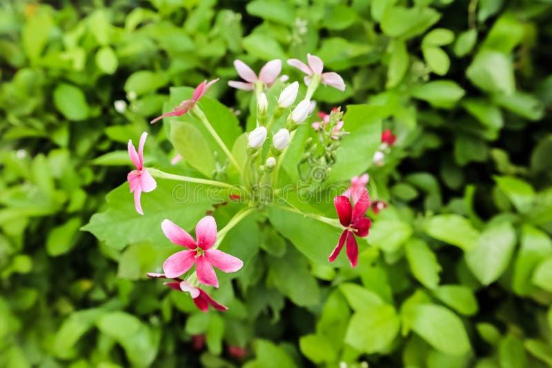 Rosen-Pogonia weiß mit rosa Farbblumenkombination lizenzfreie stockbilder