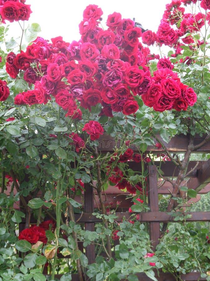 rosen stockfotografie