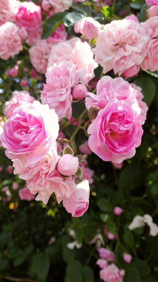 rosen royalty-vrije stock foto's